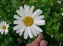 220px tanacetum cinerariifolium1