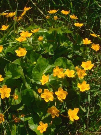 Caltha palustris jfg1