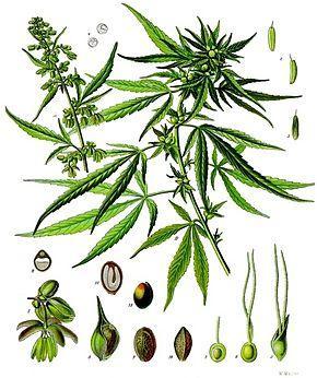 cannabis-sativa-kohler-s-medizinal-pflanzen-026.jpg