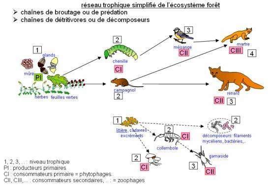 Ecosysteme foret reseau trophique 1