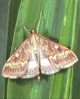 Papillon male pyrale mais 1