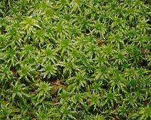 Sphagnum magellanicum 1
